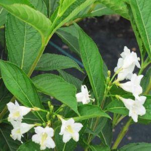 Weigela florida 'Alba' - Rózsalonc