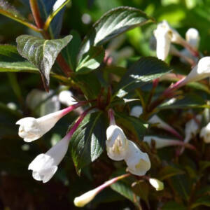 Weigela 'Black and White' – Rózsalonc