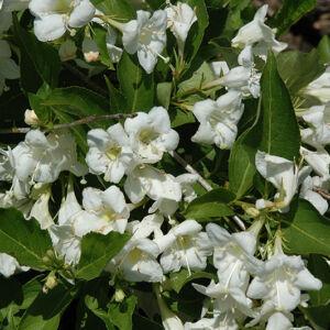 Weigela 'Bristol Snowflake' – Fehér virágú rózsalonc