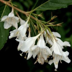 Weigela 'Candida' – Hófehér virágú rózsalonc