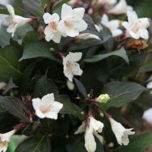 Weigela 'Ebony and Ivory' – Fehér virágú rózsalonc