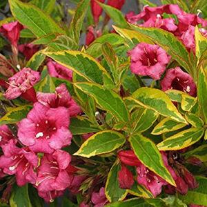 Weigela florida 'Brigela'® - Sárga-tarka levelű rózsalonc
