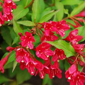 Weigela florida 'Eva Rathke' – Téglapiros virágú rózsalonc