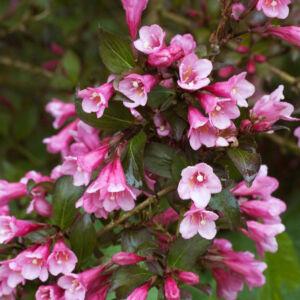 Weigela florida 'Foliis Purpureis' – Sötét rózsaszín virágú rózsalonc