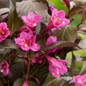 Weigela florida  'Minor Black' - Bordó levelű rózsalonc