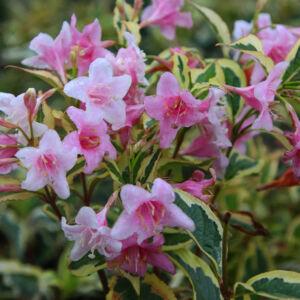 Weigela florida 'Nana Variegata' – Alacsony, tarka levelű rózsalonc
