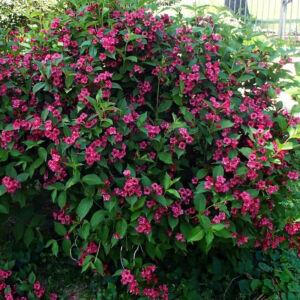 Weigela florida 'Newport Red' – Piros virágú rózsalonc