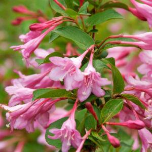 Weigela florida 'Pink Princess' – Rózsaszín virágú rózsalonc
