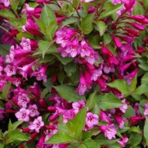 Weigela florida 'Sunny Princess' – Sötét rózsaszín virágú rózsalonc