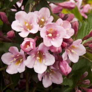 Weigela florida 'Tango' – Bordó levelű, alacsony rózsalonc