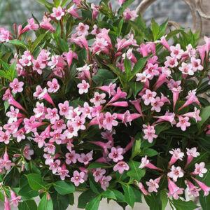 Weigela 'Pink Poppet' – Rózsaszín virágú rózsalonc