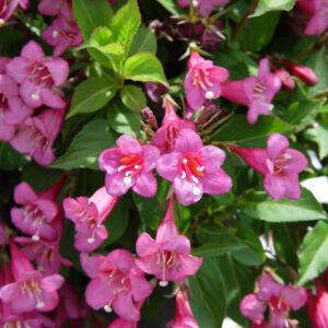Weigela 'Rumba' – Sötét rózsaszín virágú rózsalonc