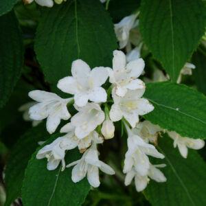 Weigela 'Snowflake' – Hófehér virágú rózsalonc
