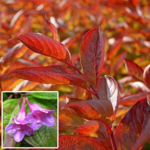 Weigela 'Wings of Fire' – Rózsaszín virágú rózsalonc
