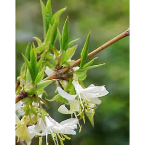 Lonicera fragrantissima – Illatos lonc