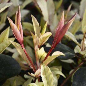 Lonicera japonica 'Pink Aperitif' – Japán futólonc