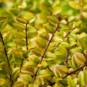 Lonicera nitida 'Baggesen's Gold' – Élénk sárgás levelű talajtakaró lonc