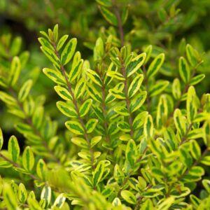 Lonicera nitida 'Lemon Beauty' - Citromsárga terülő mirtuszlonc