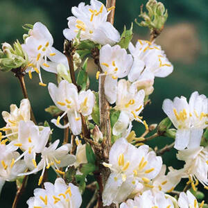 Lonicera purpusii 'Winter Beauty' – Tél szépe lonc
