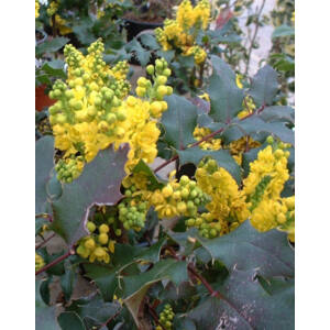 Mahonia x wagneri 'Pinnacle' – Mahónia