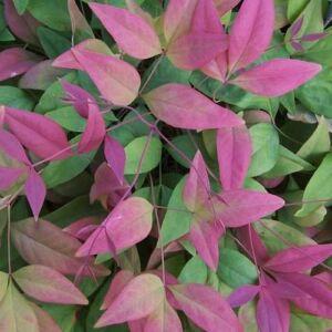Nandina domestica 'Aka Blush Pink' – Japán szentfa
