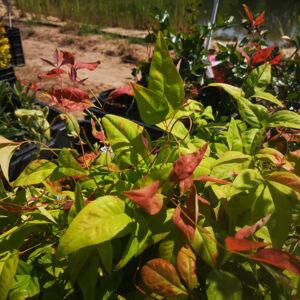 Nandina domestica 'Blush Pink' – Szentfa