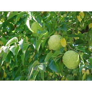 Maclura pomifera - Narancseperfa