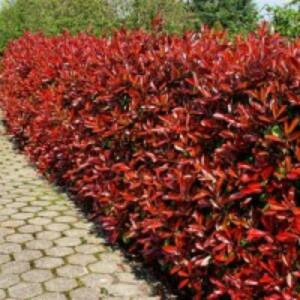 Photinia 'Red Fire' - Korallberkenye