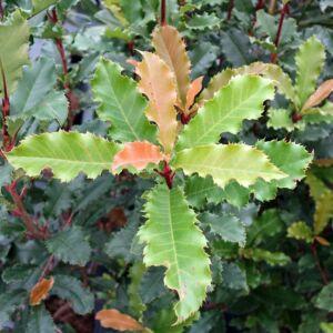 Photinia 'Crunchy' – Fodros levelű korallberkenye