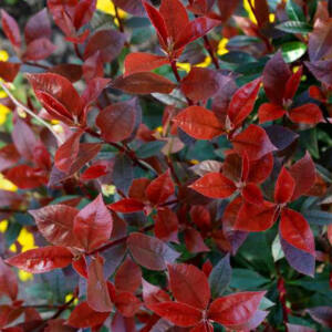 Photinia 'Dicker Tony' – Korallberkenye