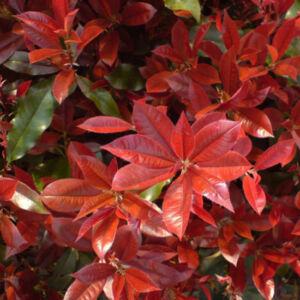 Photinia fraseri 'Camilvy' – Korallberkenye
