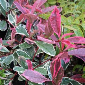 Photinia x fraseri 'Pink Marble'® – Rózsaszín tarkalevelű korallberkenye
