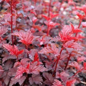 Physocarpus opulifolius 'Lady in Red' - Magas törzsű hólyagvessző
