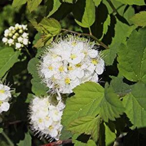 Physocarpus capitatus 'Tilden Park' – Terülő hólyagvessző