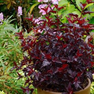 Physocarpus opulifolius 'All Black' – Hólyagvessző