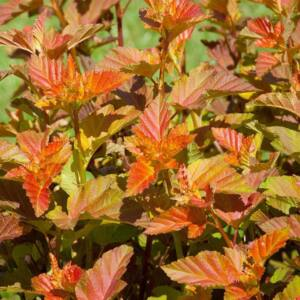 Physocarpus opulifolius 'Amber Jubilee' – Hólyagvessző