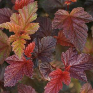 Physocarpus opulifolius 'Andre' – Bordó levelű hólyagvessző