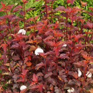 Physocarpus opulifolius 'Compact Red' – Hólyagvessző