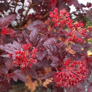 Physocarpus opulifolius 'Diable d'Or'® – Bordó levelű hólyagvessző