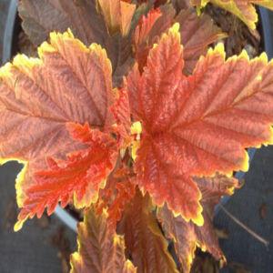 Physocarpus opulifolius 'Little Angel' – Hólyagvessző