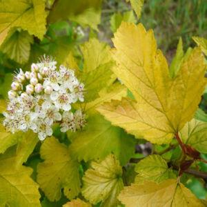 Physocarpus opulifolius 'Luteus' – Sárga levelű hólyagvessző