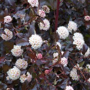 Physocarpus opulifolius 'Midnight'® – Sötétbordó levelű hólyagvessző