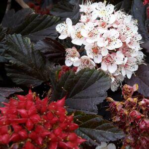 Physocarpus opulifolius 'Red Baron' – Hólyagvessző