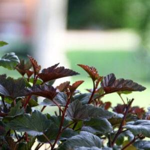 Physocarpus opulifolius 'Red Esquire' – Hólyagvessző