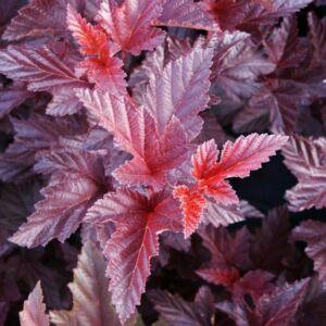 Physocarpus opulifolius 'Schuch' – Hólyagvessző