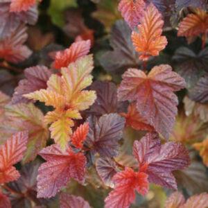 Physocarpus opulifolius 'Zdechovice' – Hólyagvessző