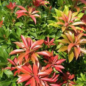 Pieris japonica 'Major' – Babérhanga