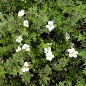 Potentilla fruticosa 'Abbotswood' – Fehér virágú cserjés pimpó
