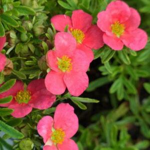 Potentilla fruticosa 'Bellissima' – Rózsaszín virágú cserjés pimpó
