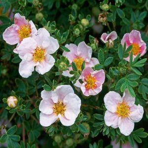 Potentilla fruticosa 'Blink' – Rózsaszín virágú cserjés pimpó